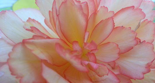 Begonia 390158 1920
